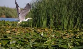grey-heron-5812319_960_720