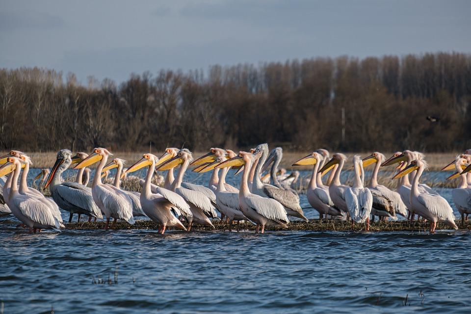 pelicans-6087846_960_720